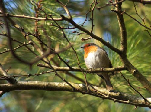 A robin singing in the trees as we went on a short walk to town!
