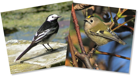 Goldcrest and Wagtail - web photos
