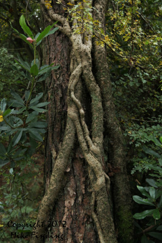 Ivy clinging to a tree in Puddletown Forest, Dorset - photo