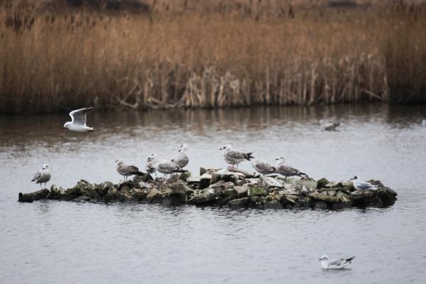 Radipole Lake, Weymouth. RSPB reserve, photo