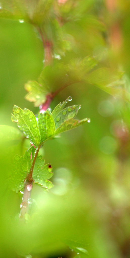 water droplets on leaves - photo